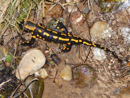 Waren Kröten Und Salamander In Den Letzten Wochen Bedingt Durch Die  Trockenheit Recht Selten Zu Sehen, ...